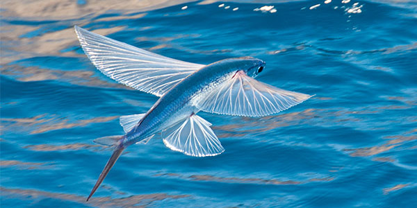 flyingfish-management